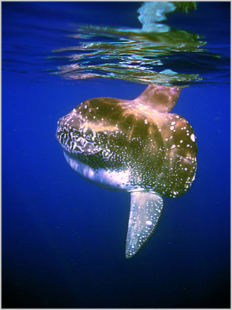 Alor Sunfish - Click to ENLARGE